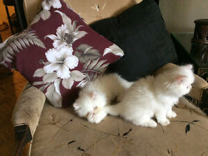 Pure Bred Persian, just like the Royal kitten commercial white,