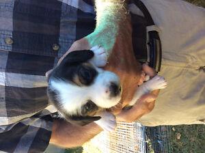 Pocket beagle puppies