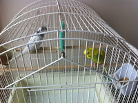 Two beautiful budgie birds for sale