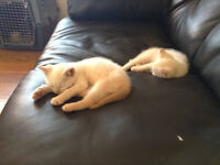 3 free kittens ready to go - 2 white males, 1 tabby female