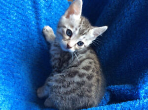 Silver Bengal kittens  M & F Blue Eyes Pure / Guanranty 1 Year
