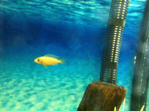 Baby cichlids for sale