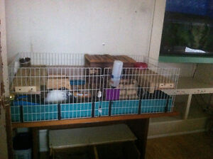 REDUCED PRICE 2sweet male guinea pigs w/cage & supplies
