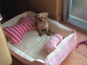Yorkshire terrier... female 2.5 year old