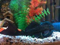 Plec tropical fish 7-8inch