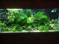 Pelia moss live aquarium fish tank plants
