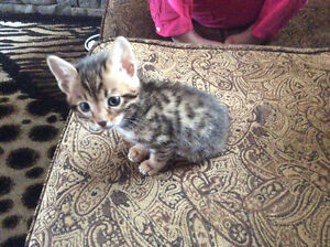 Male Bengal kitten available