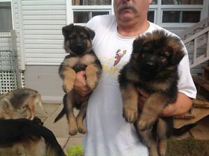 PURE BREED GERMAN SHEPHERD PUPUIES FOR SALE 3 MALES LEFT