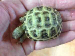 Baby Tortoises | Kijiji in Ontario  - Buy, Sell & Save with