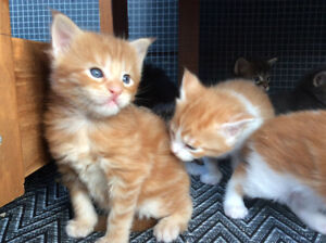 Registered Maine Coon Kittens from Champion bloodlines P