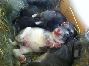 New Zealand Chinchilla Crossed Meat Rabbits COMMERCIAL BLOODLINE Peterborough Peterborough Area image 7