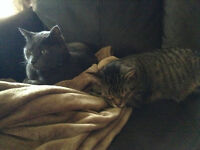 Two Free Male Adut cats to good home