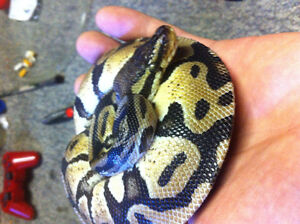 Two ball pythons for sale