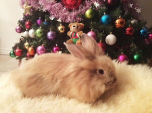 cute lionhead baby bunny girl, $30, includes food and hay