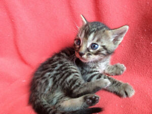 Silver,  Charcoal, Snow Bengal Kittens Pure /Guaranty, Delivery