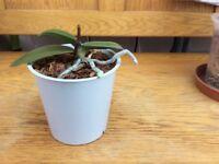 Indoor Plants - Assorted Orchids