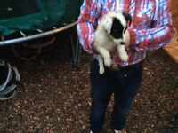 Chihuahua cross jack Russell puppies for sale