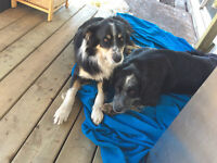 2 Border Collie Cross Dogs- brothers