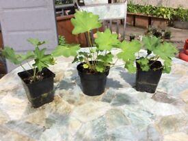 Outdoor Plant - Alchemilla Mollis