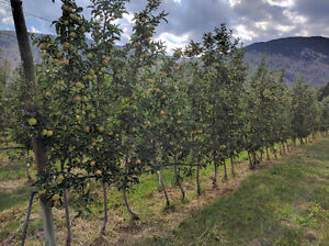 Certified Organic Orchard with Packing House in Cawston