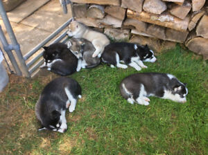 CKC Registered Siberian Husky Pups