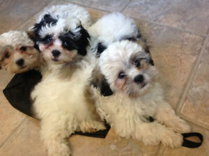 ADORIBLE  SHIH TZUxPOODLE PUPPIES-PUPPY LOVE AT BEST!
