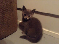8 week old Grey Kittens! **UPDATE ONLY 1 LEFT