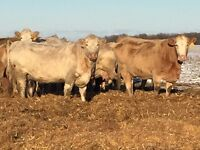 Bred Cows (small herd)