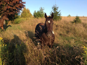 TWO RIDING HORSES FOR SALE