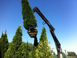 Decorative Emerald cedars / Trees & shrubs