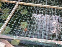 Pond or aquarium oxygenating plants