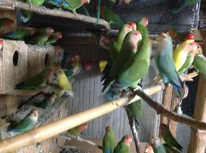 LOVEBIRDS FOR SALE NEW BABIES READY TO HAND FEED