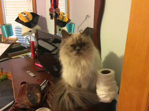 Lower price - Pure bred blue point Himalayan 1 year old cat