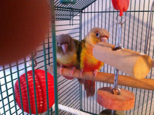 Two Conures (Cinnamon & green cheeked)