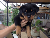 Rottweiler puppies CKC registered European blood lines