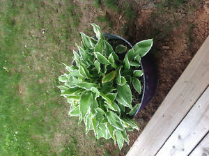 Large Antique Wash Tub with Hostas.