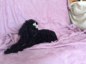 caniche femelle noire
