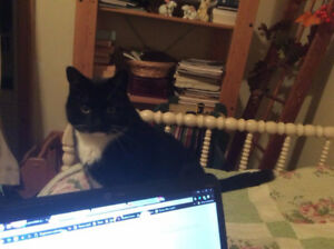 Cat lost in Chester Road area of Windsor