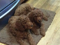CKC Red Standard Poodle Puppies