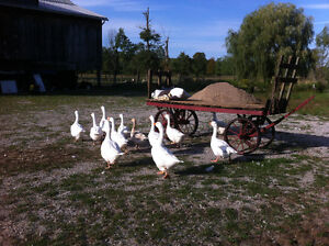 Geese for sale, 40$ each