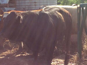 Yearling black limo bull