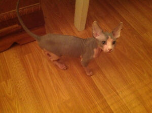 Chaton sphynx male disponible