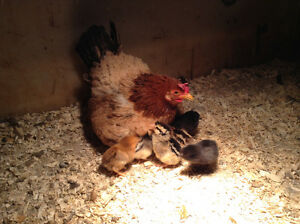 bantee hen with 8 chicks & Frizzell hen with 8 chicks