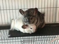 2 Beautiful Chinchillas looking for a loving home