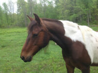Registered Appaloosa mare and Pinto pony mare