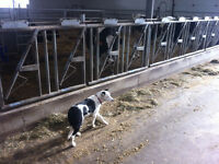 Great working cattle and sheep dogs for sale