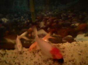 5 Koi Fish for sale with 50 gallon tank