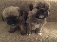 Tiny pug X shih tzu puppys