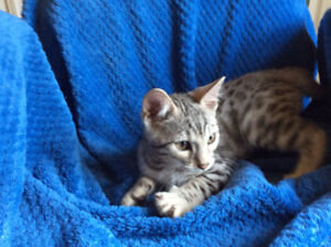 Rosetted Female & Male Bengal Kittens  / Delivery, Guaranties