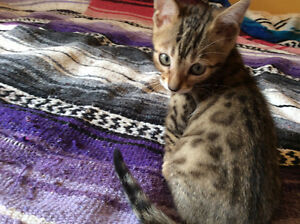 (: Chat/Chaton Male Bengal Brown Rosettes Pure Race -Garanties
